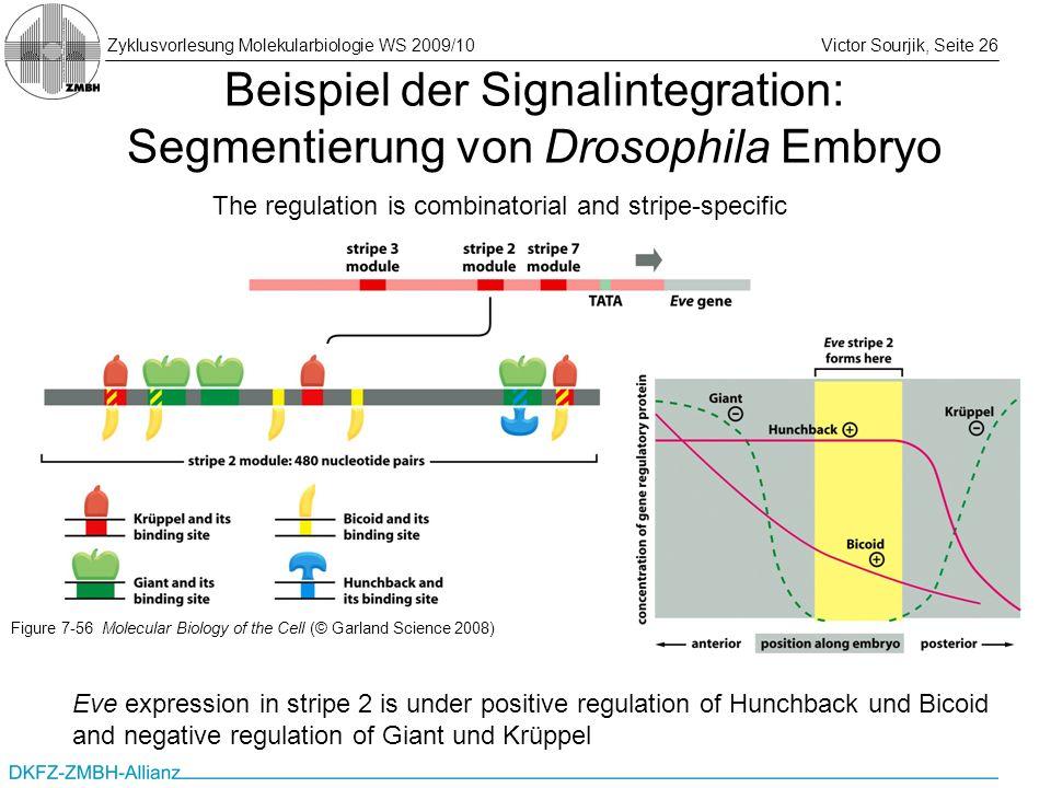 Beispiel der Signalintegration: Segmentierung von Drosophila Embryo