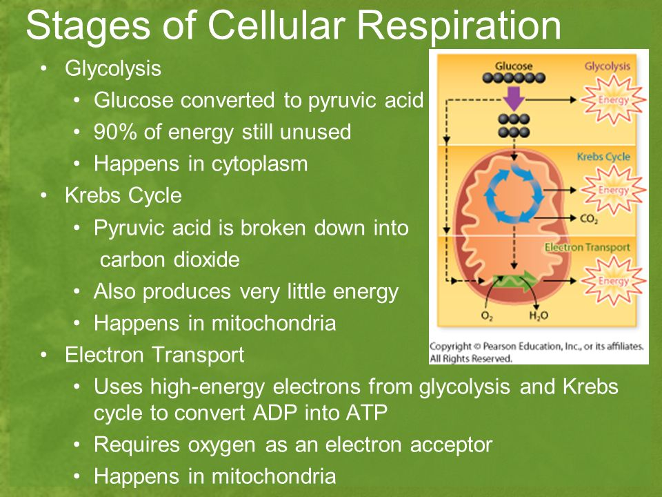 Photosynthesis and cellular respiration worksheet quizlet