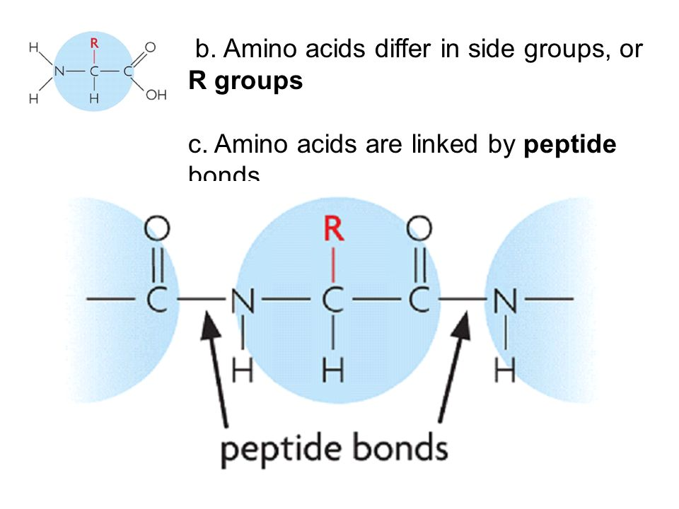 b. Amino acids differ in side groups, or R groups