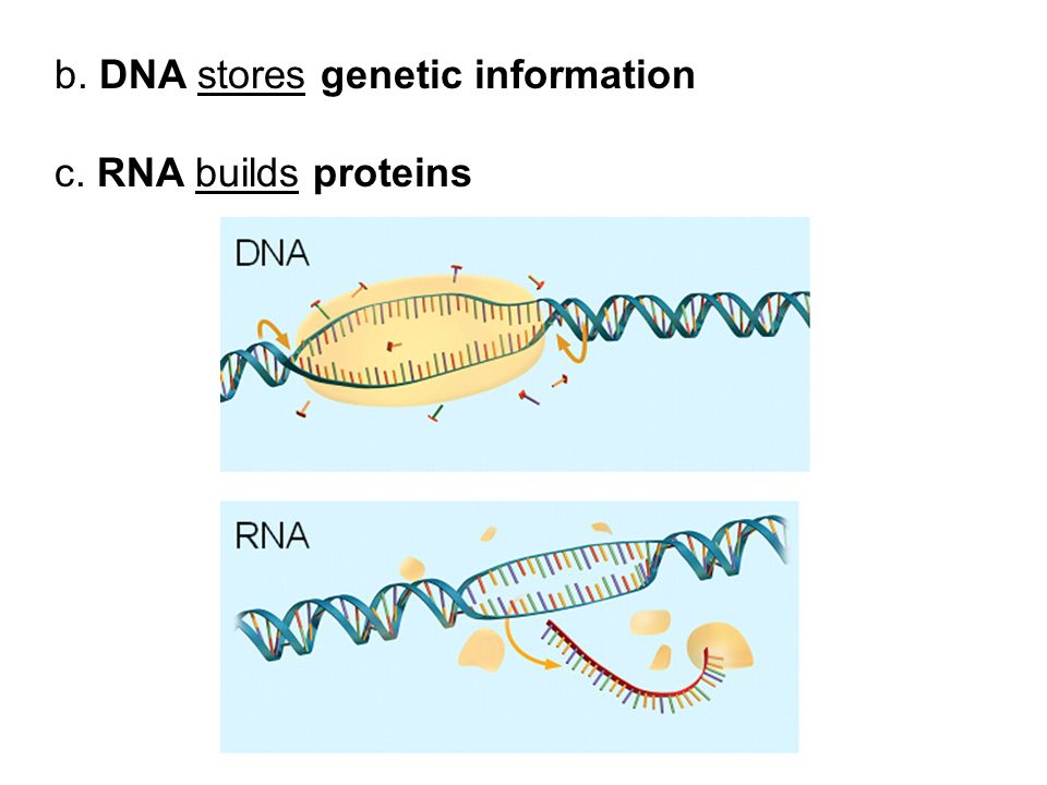 b. DNA stores genetic information c. RNA builds proteins