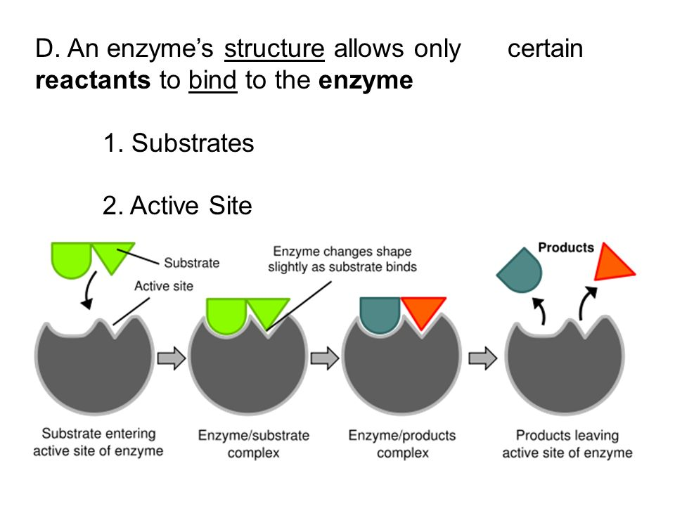 D. An enzyme's structure allows only