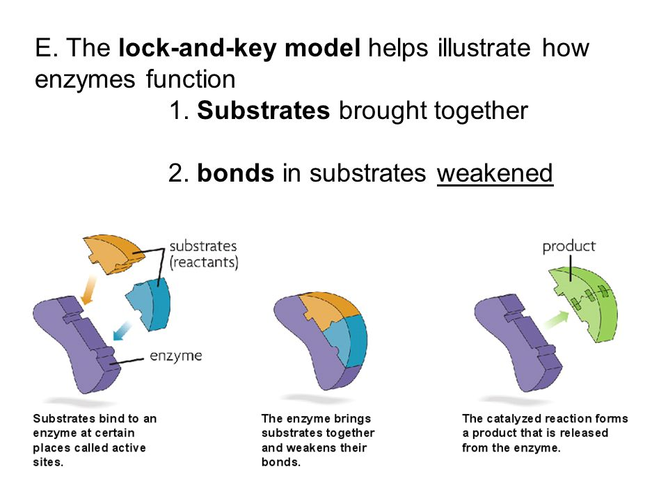 E. The lock-and-key model helps illustrate how enzymes function