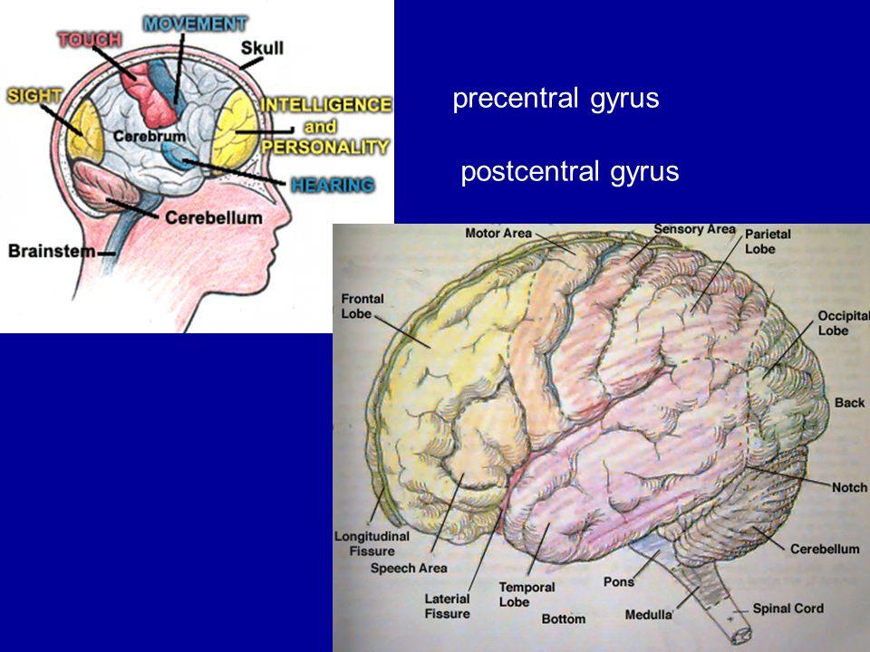 1 precentral gyrus postcentral gyrus