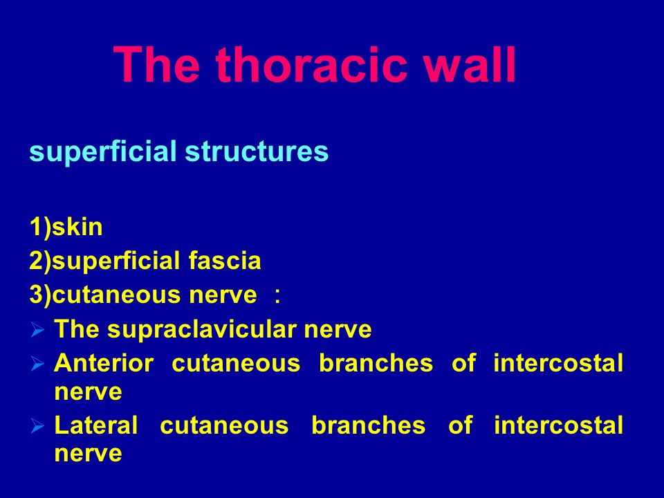 The thoracic wall superficial structures 1)skin 2)superficial fascia
