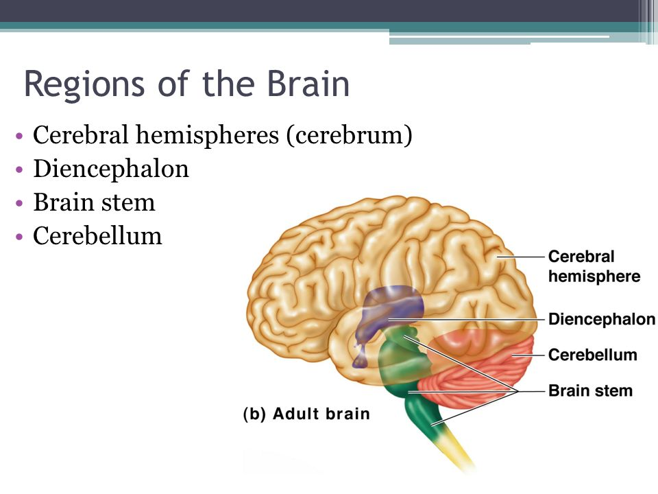 research on the brain hemispheres and the nervous system By far the largest region of your brain is the forebrain (derived from the developmental prosencephalon), which contains the entire cerebrum and several structures directly nestled within it - the thalamus, hypothalamus, the pineal gland and the limbic system.