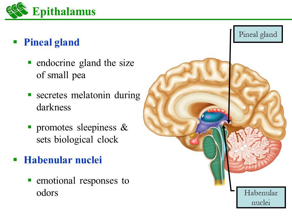 Images Of Epithalamus Pineal Gland Spacehero