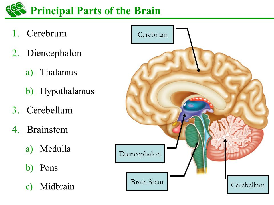 Overview brain stem cerebellum diencephalon cerebrum cranial nerves principal parts of the brain ccuart Choice Image