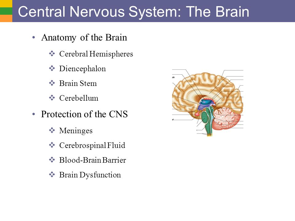 Anatomy of central nervous system