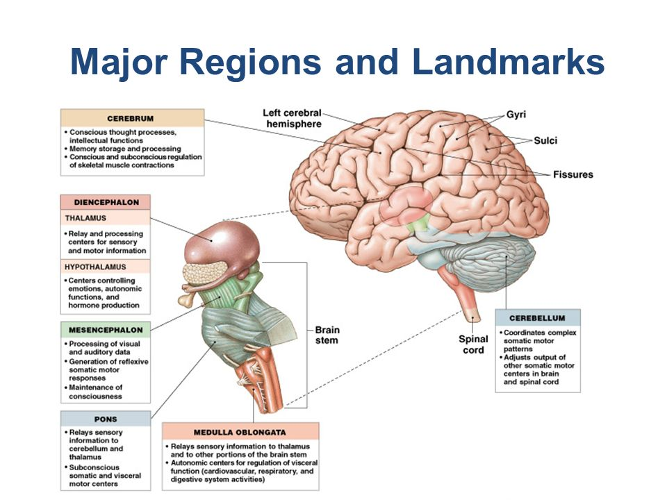 The Brain Cns Lecture 12a Biol Ppt Video Online Download