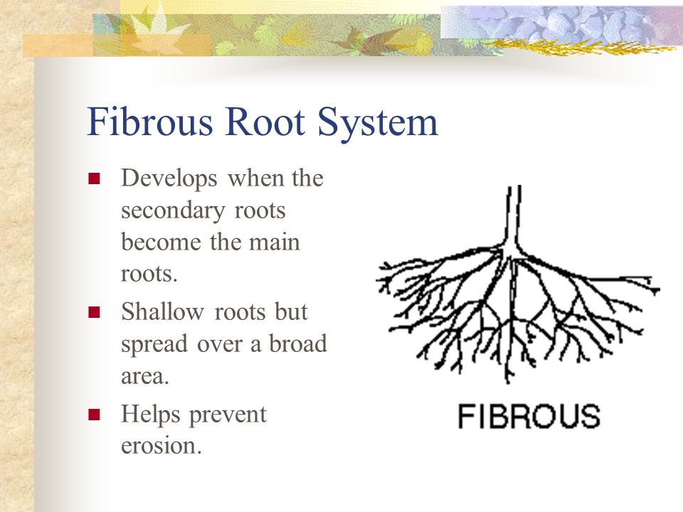 Fibrous Root System Develops when the secondary roots become the main roots. Shallow roots but spread over a broad area.
