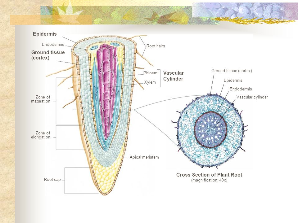 Cross Section of Plant Root (magnification: 40x)