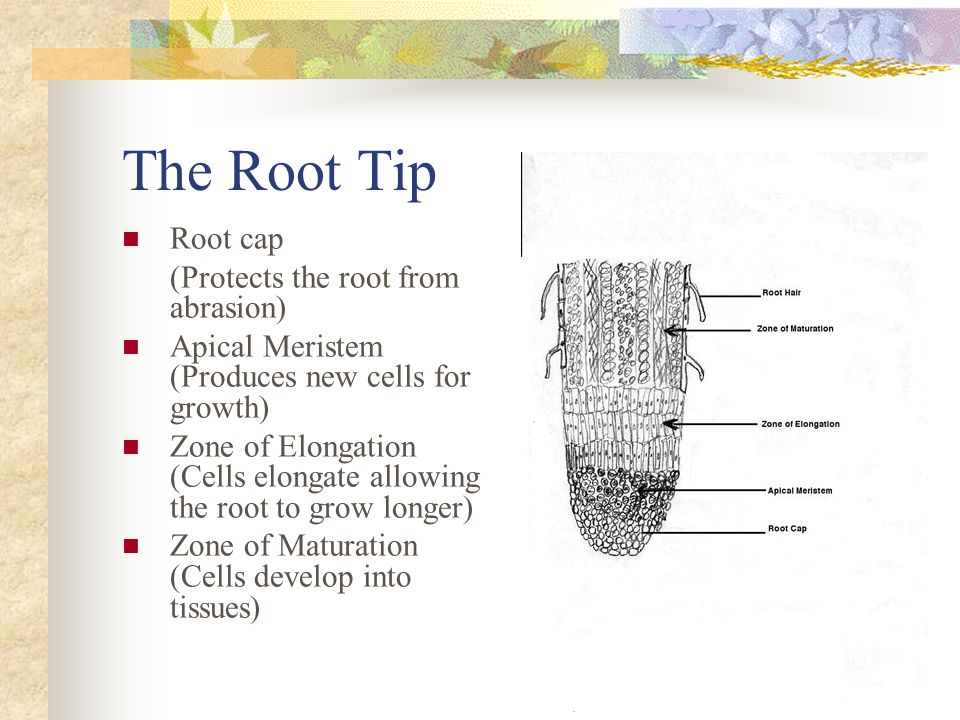 The Root Tip Root cap (Protects the root from abrasion)