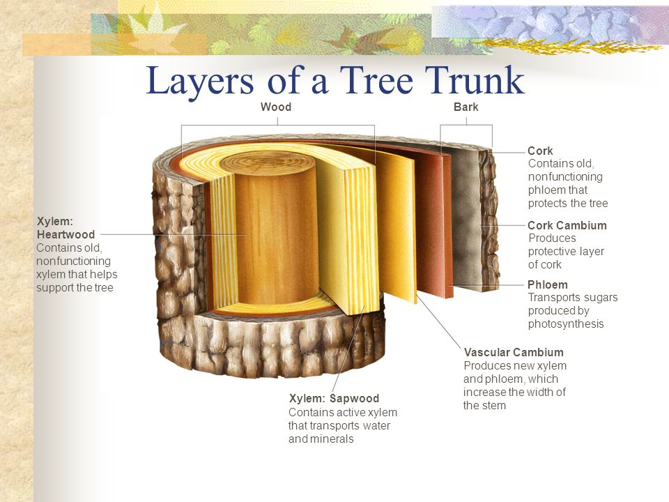 Layers of a Tree Trunk Wood Bark Cork