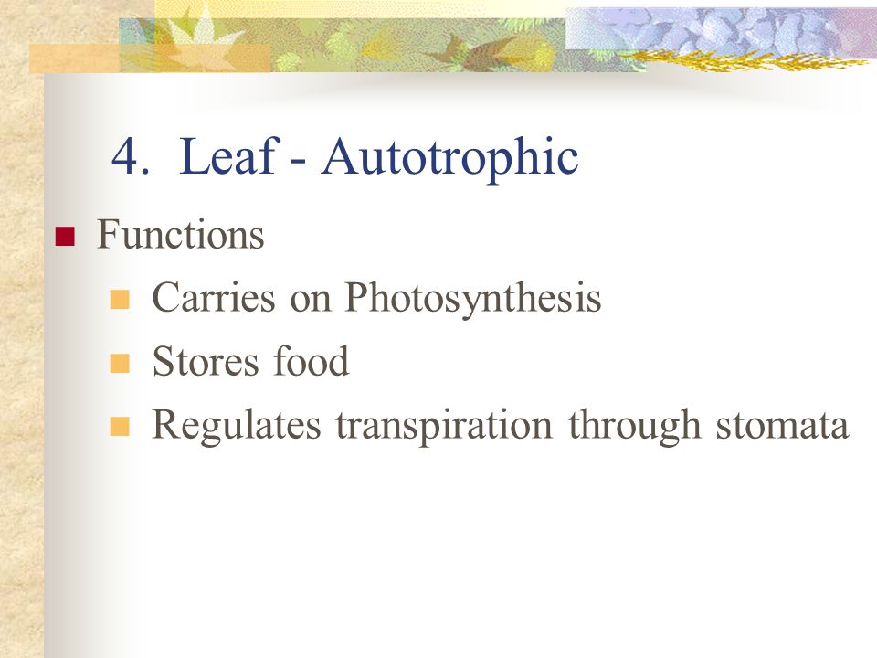 4. Leaf - Autotrophic Functions Carries on Photosynthesis Stores food