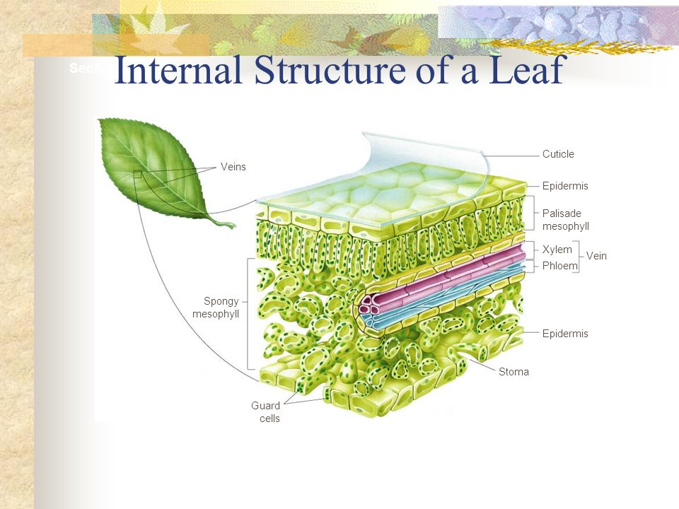 Internal Structure of a Leaf