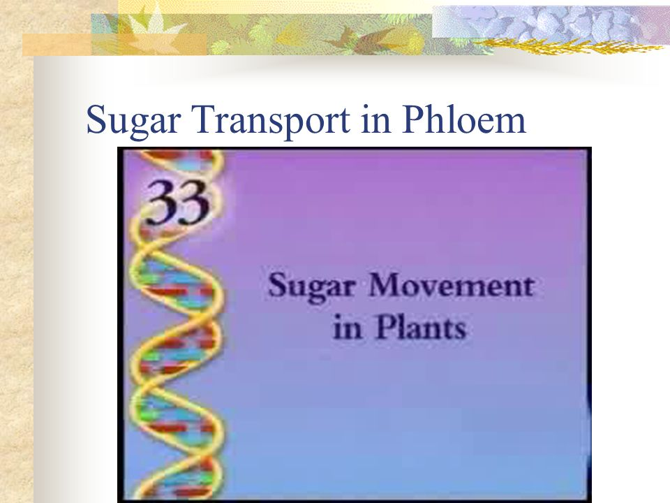 Sugar Transport in Phloem