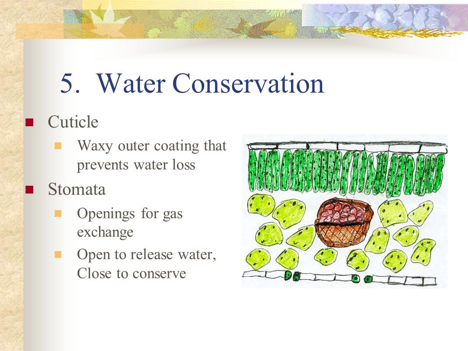 5. Water Conservation Cuticle Stomata
