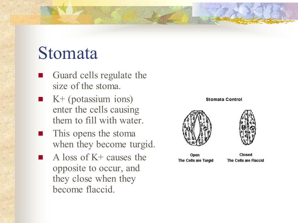 Stomata Guard cells regulate the size of the stoma.