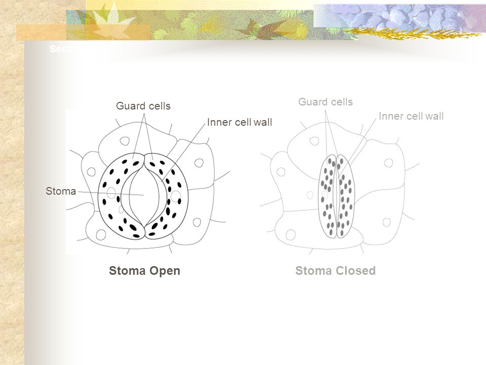 Stoma Open Stoma Closed