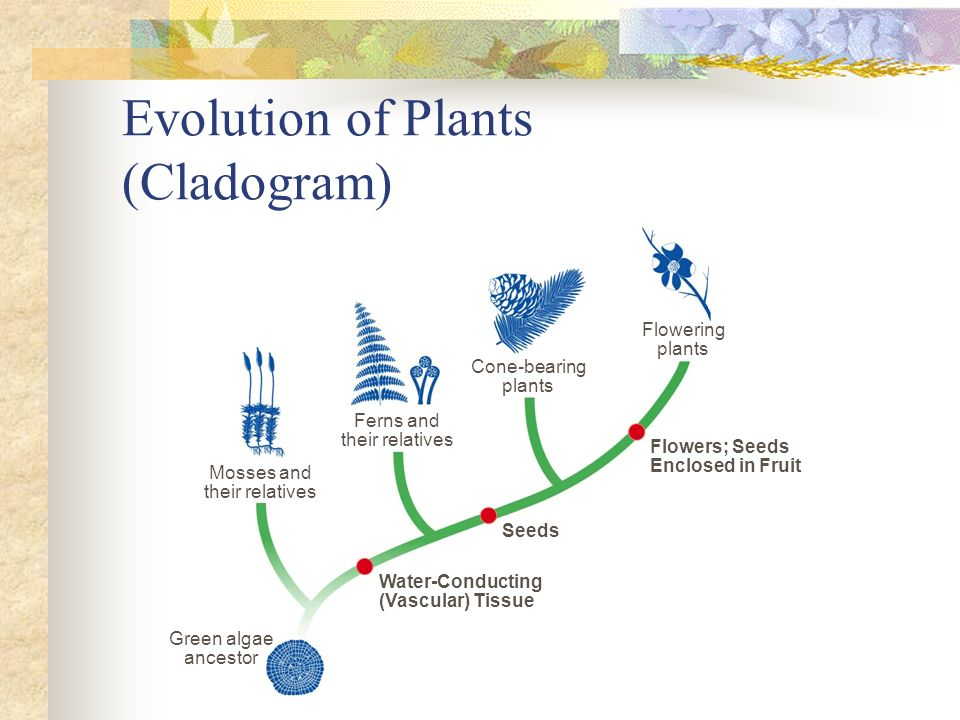 Evolution of Plants (Cladogram)