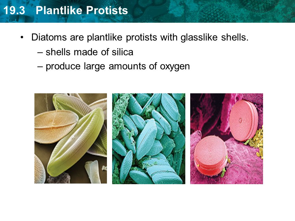 Diatoms are plantlike protists with glasslike shells.