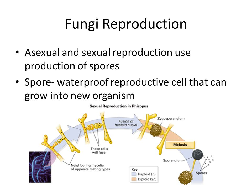 Fungi Reproduction Asexual and sexual reproduction use production of spores.