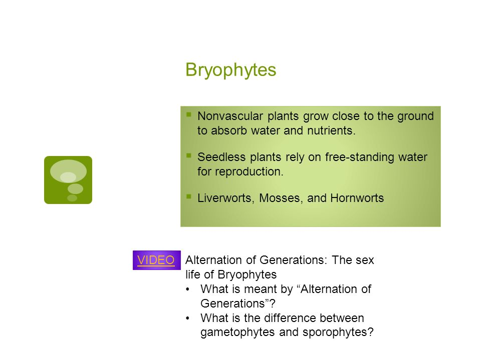 Bryophytes Nonvascular plants grow close to the ground to absorb water and nutrients.
