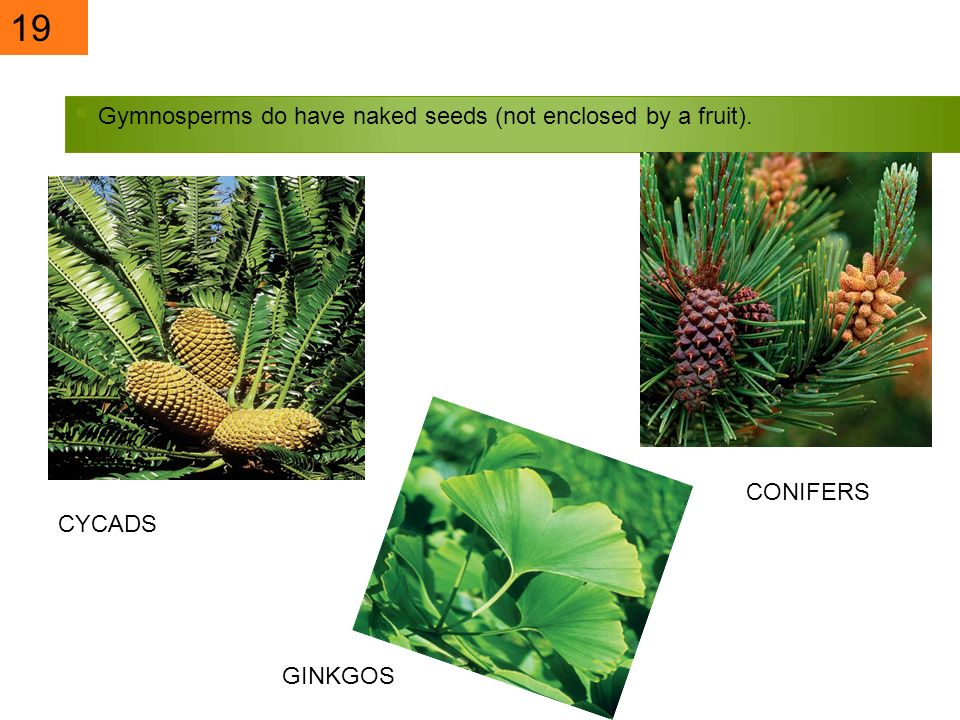 19 Gymnosperms do have naked seeds (not enclosed by a fruit). CONIFERS