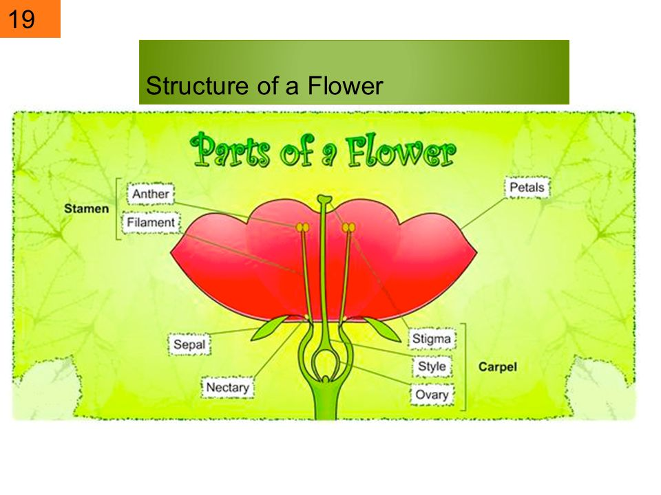 19 Structure of a Flower