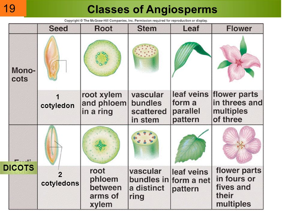 Classes of Angiosperms