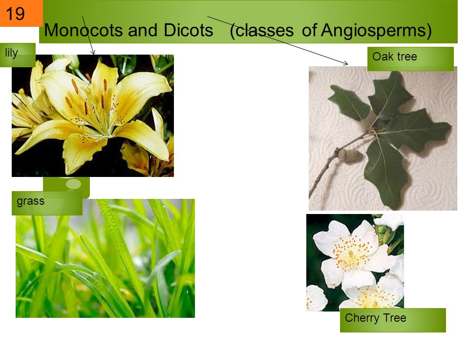 Monocots and Dicots (classes of Angiosperms)