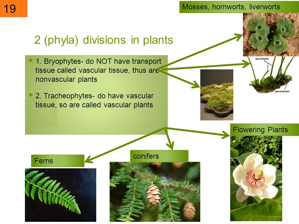 2 (phyla) divisions in plants