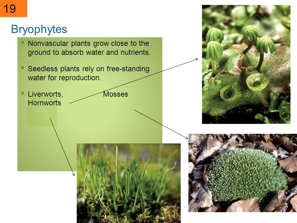 19 Bryophytes. Nonvascular plants grow close to the ground to absorb water and nutrients.