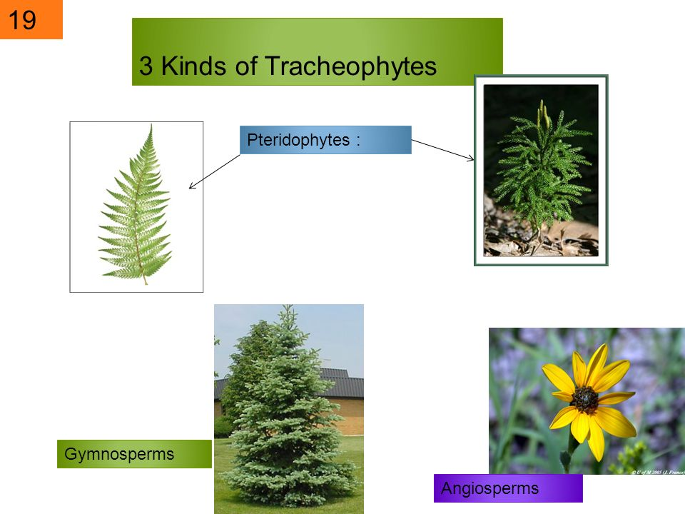 3 Kinds of Tracheophytes