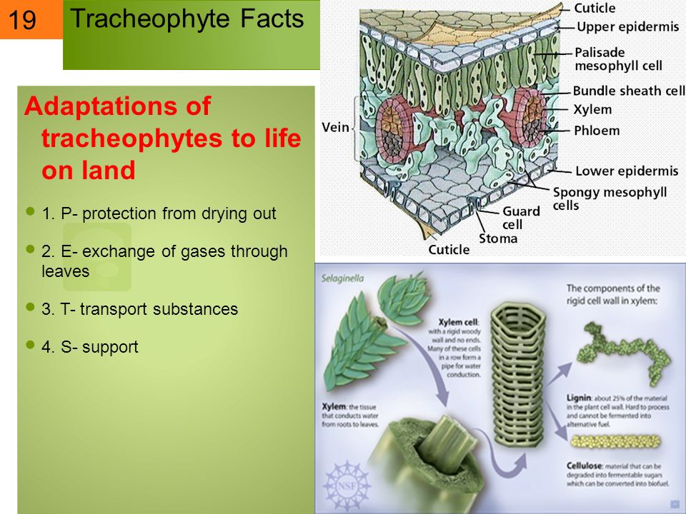 Adaptations of tracheophytes to life on land