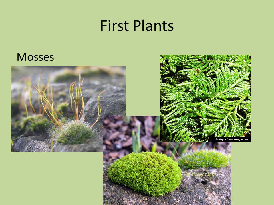 First Plants Mosses