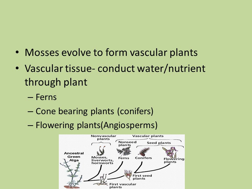 Mosses evolve to form vascular plants