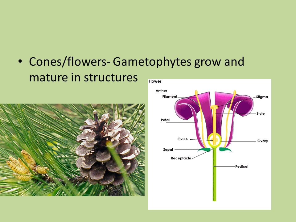 Cones/flowers- Gametophytes grow and mature in structures