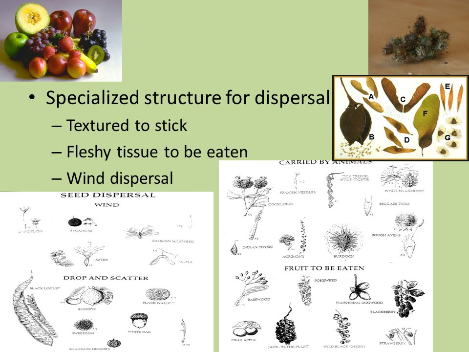 Specialized structure for dispersal