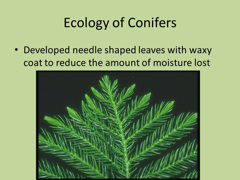 Ecology of Conifers Developed needle shaped leaves with waxy coat to reduce the amount of moisture lost.