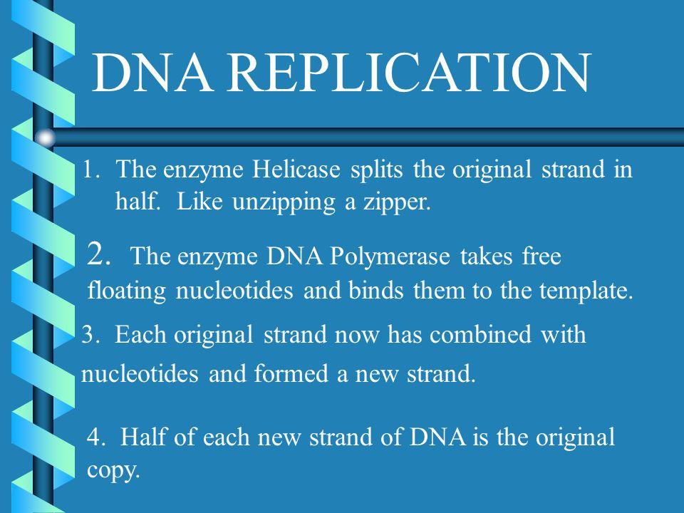 DNA REPLICATION The enzyme Helicase splits the original strand in half. Like unzipping a zipper.