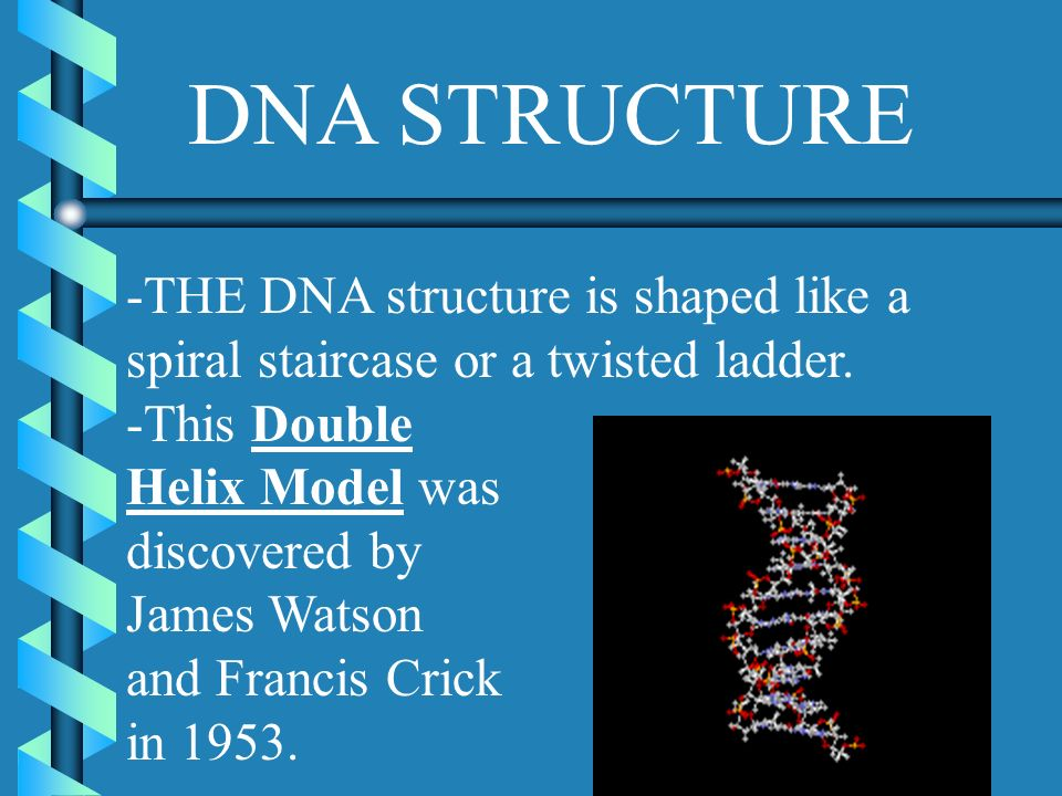 DNA STRUCTURE -THE DNA structure is shaped like a spiral staircase or a twisted ladder. -This Double.