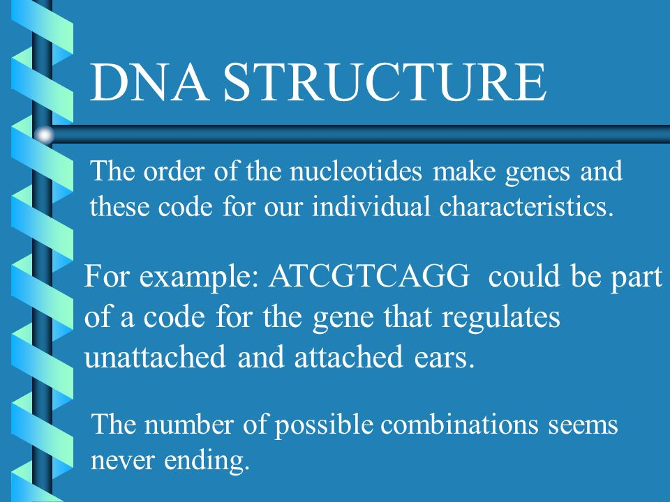 DNA STRUCTURE The order of the nucleotides make genes and these code for our individual characteristics.