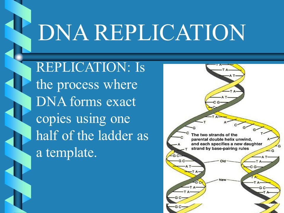 DNA REPLICATION REPLICATION: Is the process where DNA forms exact copies using one half of the ladder as a template.