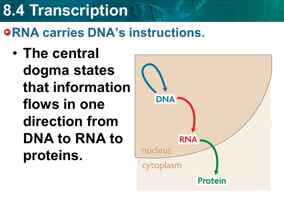 Proteins are made in the ribosomes outside the nucleus. - ppt download
