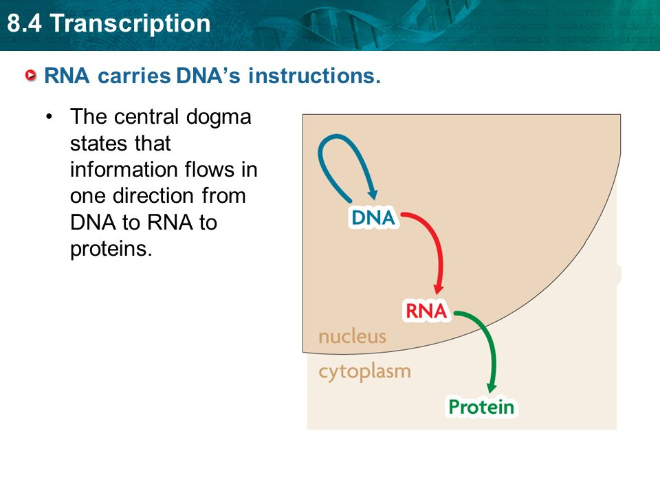 RNA carries DNA's instructions. - ppt download
