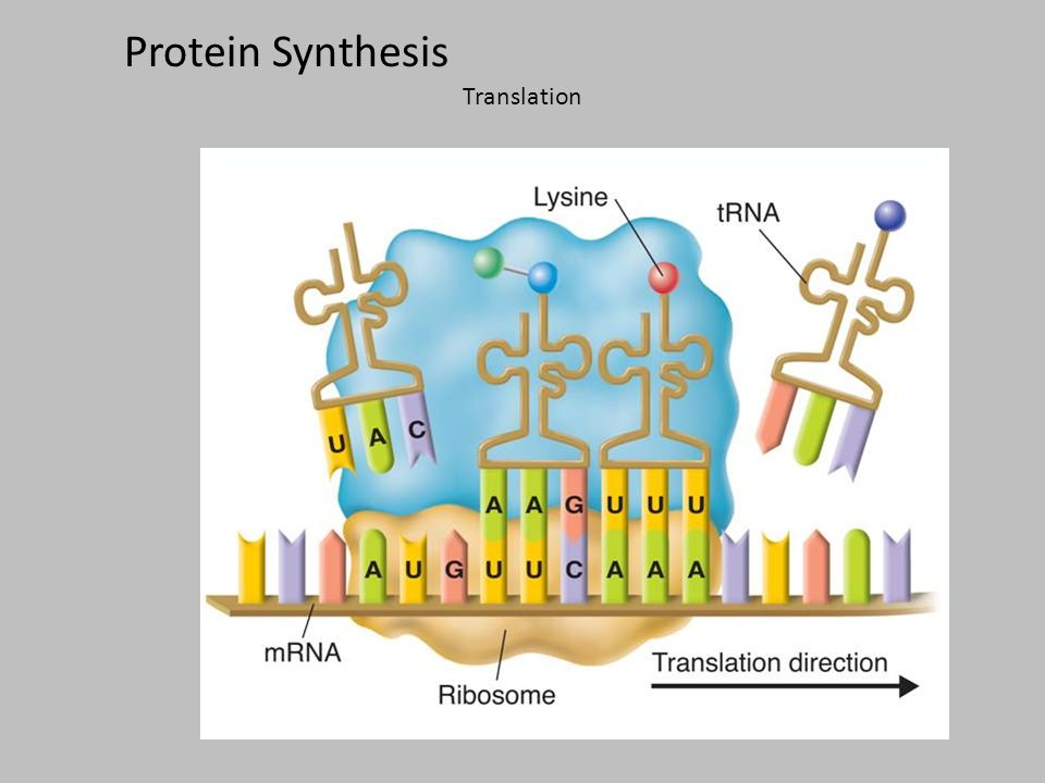 what are the 2 stages of protein synthesis Major steps involved in mechanism of protein synthesis are 1 transcription and  2 translation biosynthesis of protein is under direct control of dna in most.