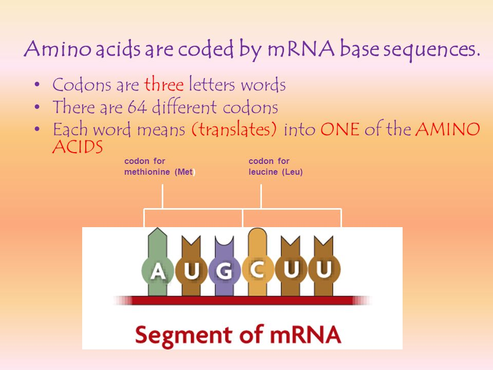 Amino acids are coded by mRNA base sequences.