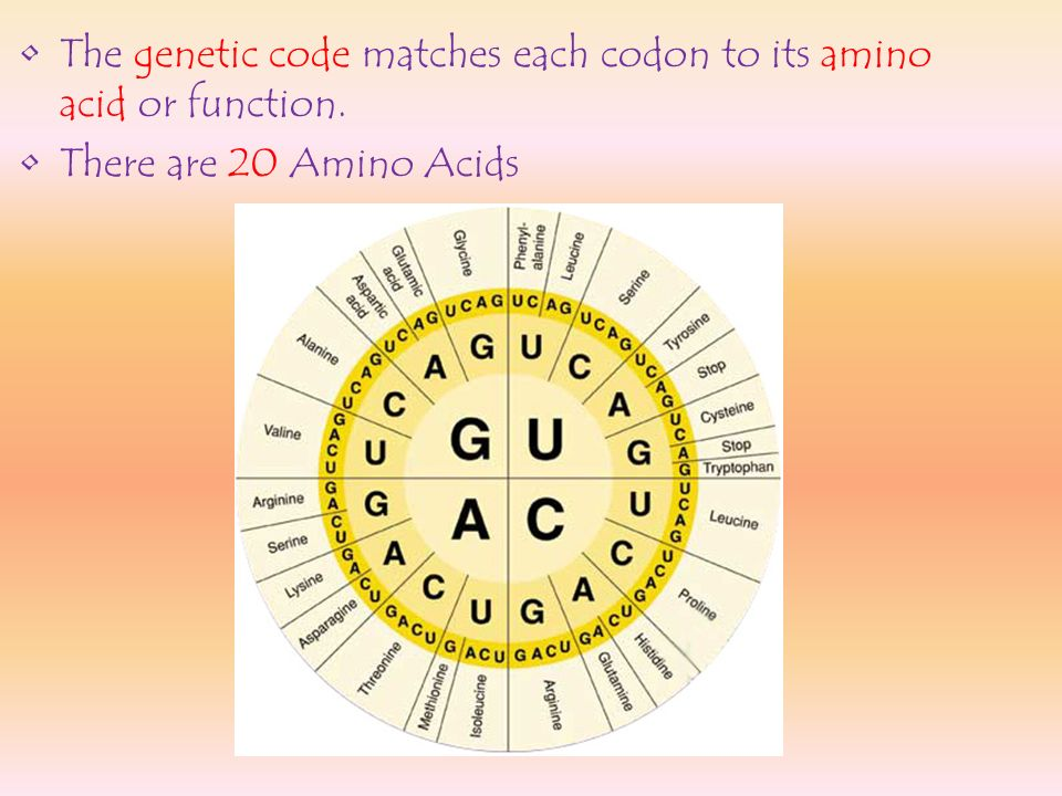 The genetic code matches each codon to its amino acid or function.