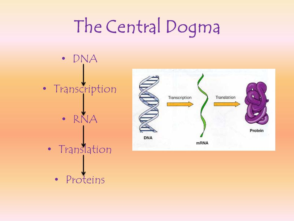The Central Dogma DNA Transcription RNA Translation Proteins